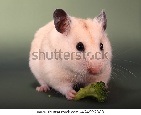 Syrian hamster eating broccoli - stock photo