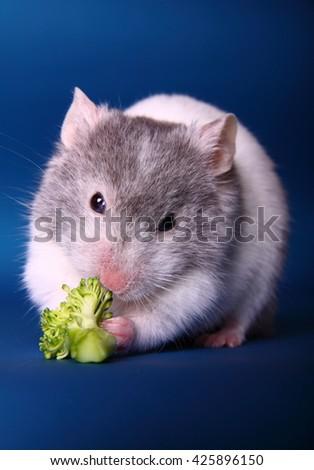 Syrian hamster eating brocolli - stock photo