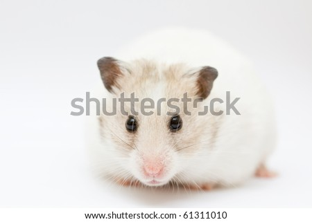 syrian hamster on abstract white background - stock photo