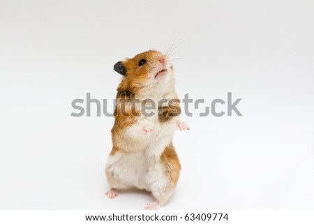 syrian hamster standing (neutral background) - stock photo