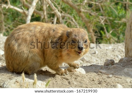 Syrian rock hyrax (Procavia capensis) medium-sized terrestrial mammal - stock photo