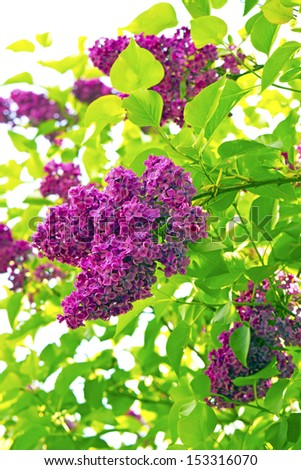 Syringa (Lilac) flowers in a garden. - stock photo