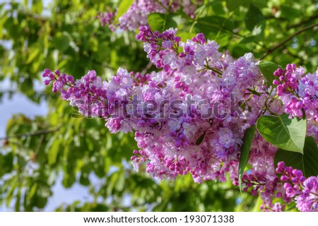 Syringa Vulgaris (Common Lilac) in Bloom  - stock photo