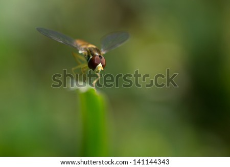 Syrphid fly on a blade of grass.