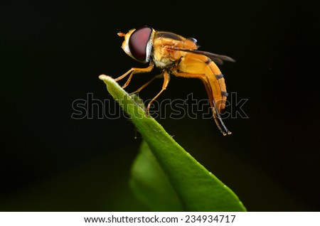 Syrphid Fly Standing On leaf