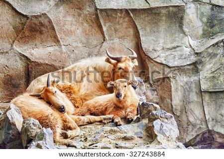 Szechwan Takin in its natural habitat in the wild. - stock photo