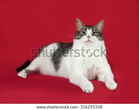 Tabby and white cat lies on red background