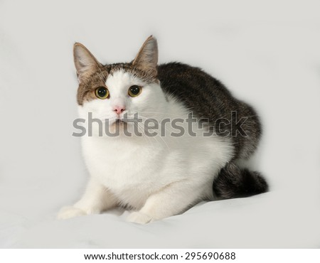 Tabby and white cat sitting on gray background