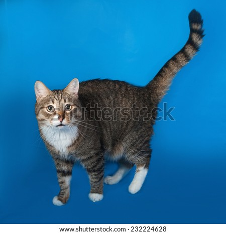 Tabby and white cat with sick eyes standing on blue background - stock photo