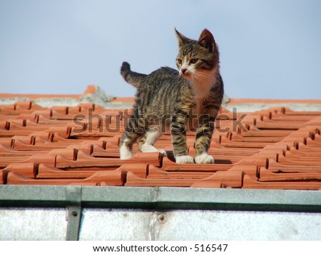 Tabby and white domestic kitten on the roof
