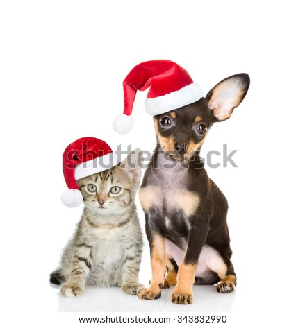 Tabby cat and toy-terrier puppy dog sitting together in red santa hats. isolated on white background - stock photo