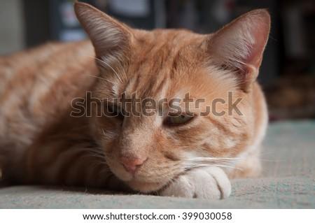 Tabby Cat. Australian domestic tabby, resting indoors. - stock photo