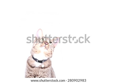 tabby cat blurry with white background. Place for text
