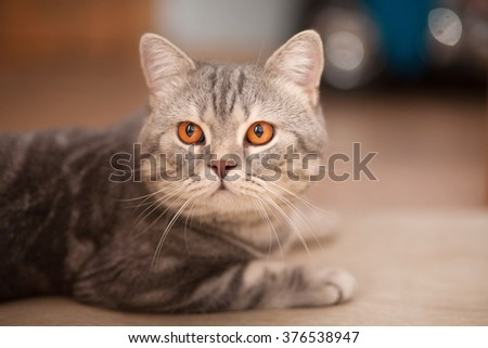 "Tabby cat breed "" British Shorthair """