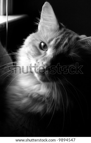 Tabby Cat by Window