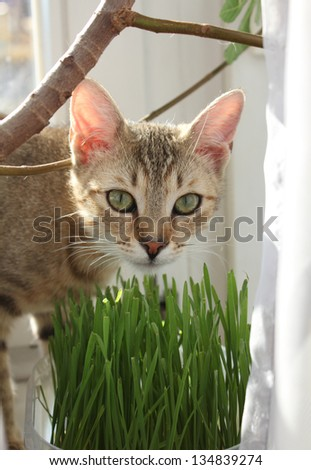 Tabby cat eating grass at home - stock photo
