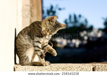 Tabby cat grooming itself. Selective focus.  - stock photo