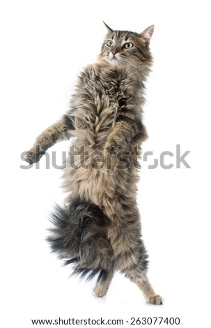 tabby cat in front of white background - stock photo