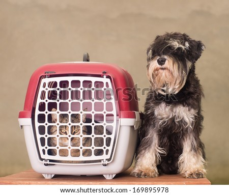 Tabby cat in pet carrier and Miniature Schnauzer sitting beside - stock photo
