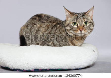 Tabby cat in white basket. Studio shot against grey.