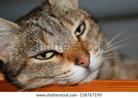tabby cat leaning on a wooden board  - stock photo