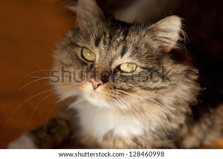 tabby cat lies - stock photo