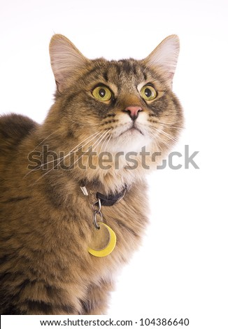 Tabby cat looking up head shot with collar and tags isolated on white - stock photo