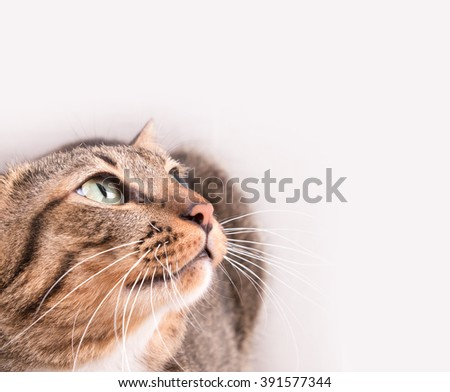 Tabby cat looking up something - stock photo