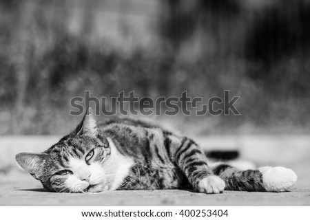 Tabby cat lounging on the ground and bathing in the first rays of the summer sun, black and white image - stock photo