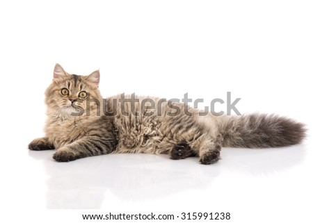 Tabby cat lying and looking on white background,isolated - stock photo