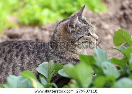 Tabby cat lying in the vegetable garden. Natural light, selective focus.