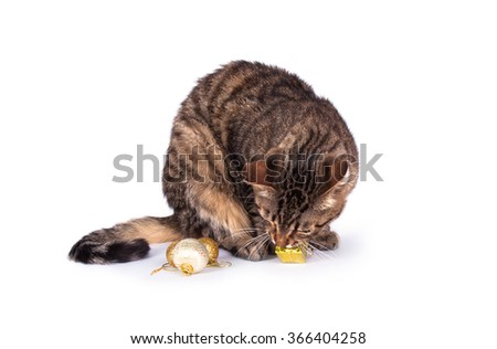 tabby cat on a white background