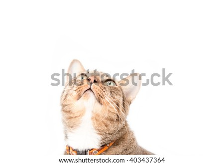tabby cat on blank banner. Place for text,Tabby cat looking something - stock photo