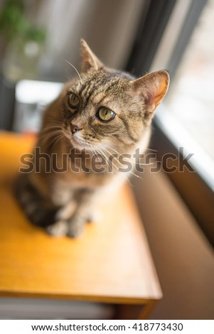 Tabby cat on the top of the table at home - stock photo