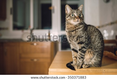 Tabby cat on the top of the table in the kitchen at home