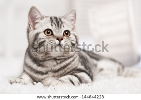 Tabby cat on the white carpet in the interior - stock photo