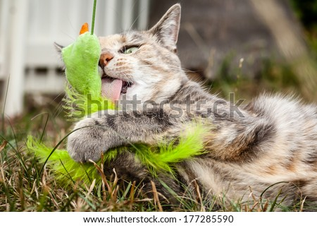 Tabby cat outside holding and licking a generic cat toy - stock photo
