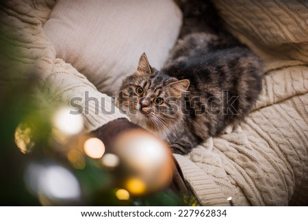 Tabby cat plays at the Christmas tree, Christmas holidays - stock photo