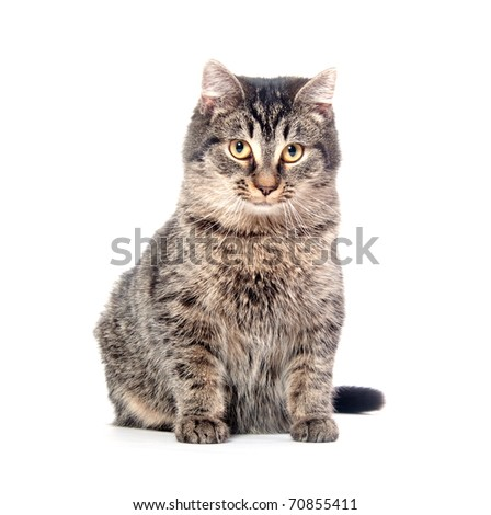 Tabby cat posing on white background
