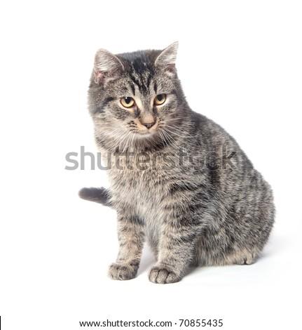 Tabby cat posing on white background - stock photo