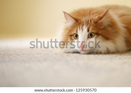 Tabby Cat Relaxing Indoors with Shallow Depth of Field and Space for Text - stock photo