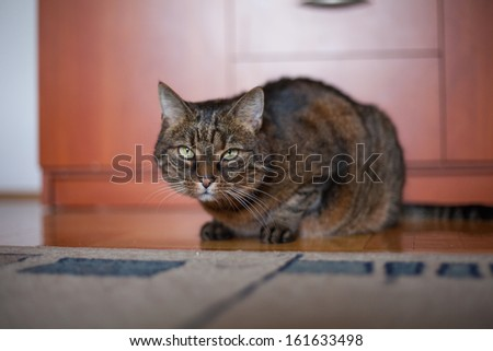 Tabby cat sitting a wooden floor. - stock photo