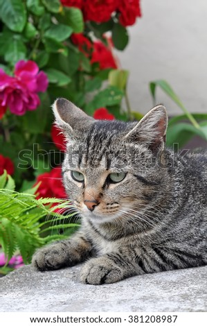 tabby cat sitting on the porch near a flowering bush with red roses
