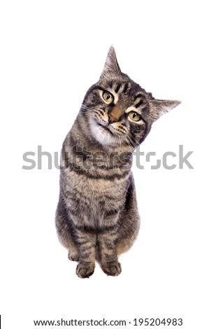 Tabby cat sitting with funny expression tilting head to the side looking isolated on white background