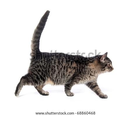 Tabby cat walking on white background - stock photo