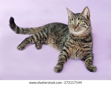 Tabby cat with green eyes lying on purple background - stock photo