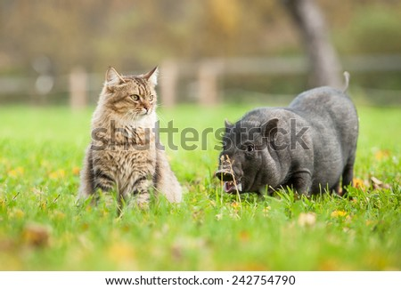 Tabby cat with mini piggy outoors - stock photo