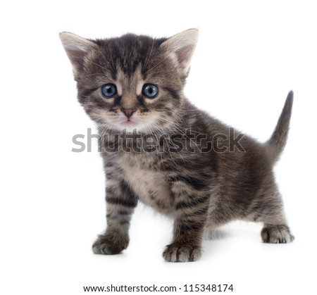 tabby kitten closeup isolated on white background shallow dof - stock photo