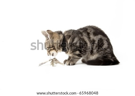 tabby kitten isolated on white background playing with house keys