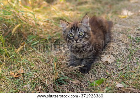 Tabby kitten looking up with interest while playing outdoor - stock photo